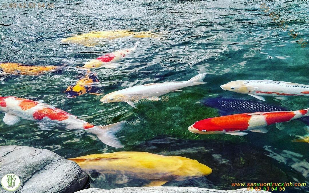 Tất Tần Tật Về Cá Koi | Nhận Dạng Cá Koi Nhật Bản Và Việt Nam
