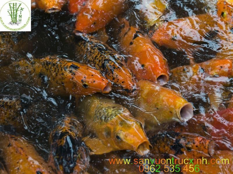 Nên Cho Cá Koi Ăn Gì Là Tốt Nhất ? Thức Ăn Tốt Cho Cá Koi